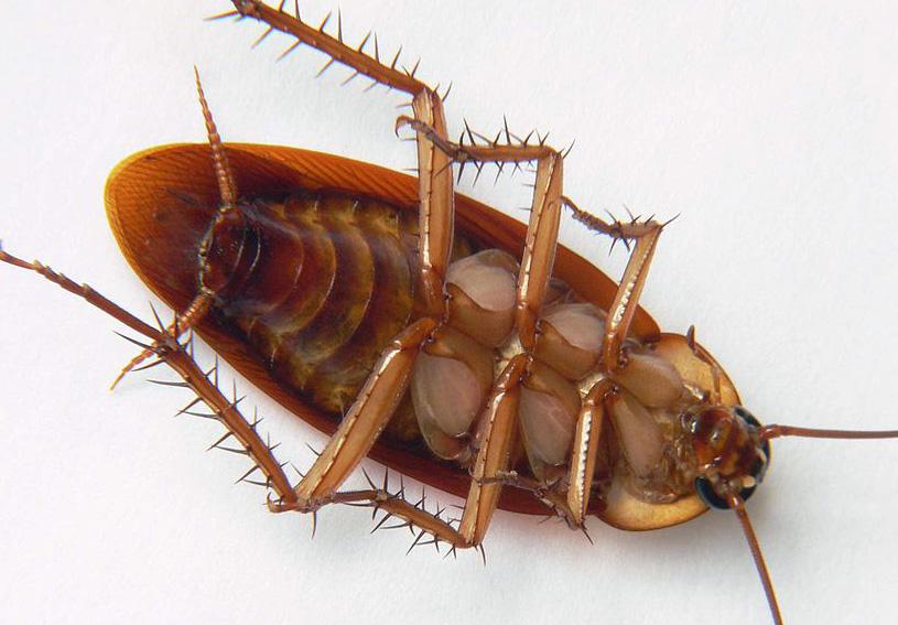 Cockroach - Periplaneta americana