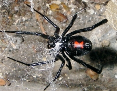 Black Widow, Latrodectus mactans