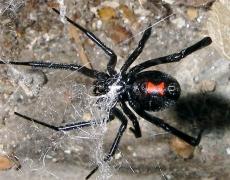 Black Widow, Latrodectus mactans