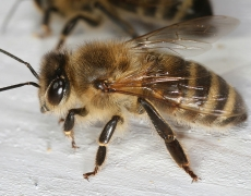 Africanized Honey Bee (A.m. Scutellata)